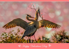 Happy Valentines Day (jeannie'spix) Tags: texture greatblueheron valentinesday 2012 maryvican blueheronnesting wacko2012