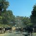 Cattle Traffic