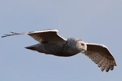 Snowy Owl (Paridae) Tags: owl birdsofprey snowyowl nycteascandiaca birdsofbritishcolumbia birdsofboundarybay migratingowls birdsofthetundra