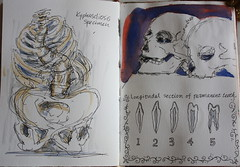 Drawing London on Location@Hunterian Museum (noriko.stardust) Tags: london art museum notebook skull artist drawing diary journal blogger location artists watercolour draw hunterian journalling notebookism kyphoscliosis