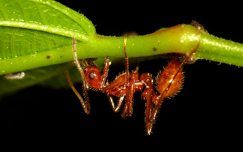Ant farming Treehoppers