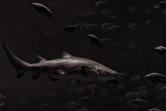 fish monochrome canon aquarium shark tank georgiaaquarium hunter 60d