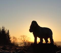 Statuesque spaniel at sunrise (Explore 21 Feb 2013) (cocopie) Tags: sunrise cockerspaniel