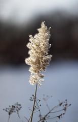Make a wish (HOWLD) Tags: grass pampasgrass kissenapark howd cortaderiaselloana 135mmf2 howardlaudesign