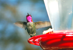 Pink headed hummingbird2 (spollock61) Tags: bird oregon branches birdfeeder pacificnorthwest hillsboro hummingbrid maleannashummingbird pinkheadedhummingbird