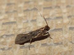 how to get rid of case bearing moth larvae