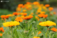 Flower Arrangement (Anubhav Kochhar) Tags: park street new orange sun flower canon garden photography eos 50mm blossom delhi dslr arrangement efs lodhi anubhav kochhar 60d flickraward isii 55250mm flickrtravelaward soloindiantraveller anubhavkochhar airingbyway