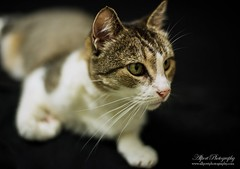 Alley (AllportPhotography) Tags: portrait pet black cute beautiful animal animals blackbackground cat photography nikon quality fluffy best qld queensland lowkey petportraits d600 naturesfinest nikond600 bestoftheday