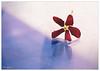 هكذا هي الحياة :) (durooob) Tags: flower ورود زهرة ورده زهور حمراء