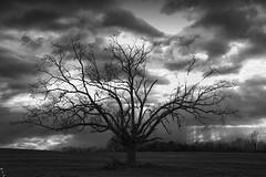 The Stalwart Oak (MarkStevenHouser.com) Tags: oak lone loneoak oakinfield