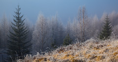 Highland Trees (Boyd Hunt) Tags: trees winter mist grass pine scotland highlands frost valley