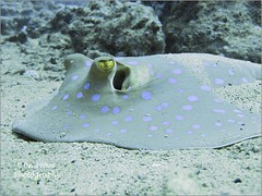 Blue Spotted Ray - Taeniura Lymma (bretton98) Tags: underwater redsea hurricane egypt scuba mv marinelife bluespottedray taeniuralymma tonybackhurst ixus85 bretton98 davidwhitephotography tornadomarineteam