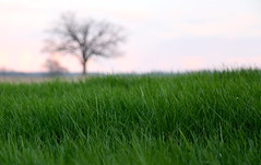 Tree in grassy field (LensBaby) (annemconnor@yahoo.com) Tags: sunset summer sky tree field grass weather wisconsin lensbaby spring focus dusk nobody madison pasture copyspace agriculture eco climate shallowdepthoffield farmfield danecounty