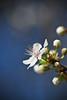 Fleur (Bodow) Tags: fleur printemps hanami prunier eos5d floraison hennysgardens