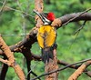 black rumped flameback, woodpecker (Raghuvir solanki) Tags: thewonderfulworldofbirds allofnatureswildlifelevel1 allofnatureswildlifelevel2 allofnatureswildlifelevel3 allofnatureswildlifelevel4 allofnatureswildlifelevel5 allofnatureswildlifelevel6
