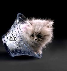Cat9661 (15) (Cat9661) Tags: animals cat حيوانات مون قطط هاف بسة فيس شيرازي بيكي بساس هملايا imagescats