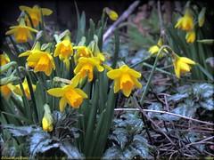 NARCISSEN HEBBEN  GEEN LAST VAN DE KOU || DAFFODILS DON'T  SUFFER FROM THE COLD (Anne-Miek Bibbe) Tags: flowers nature garden nederland natuur tuin bloemen 2013 bibbe annemiekbibbe