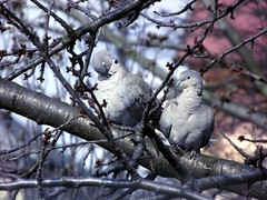 Galambpr / A pair of pigeons (Verspatikus) Tags: bird animal spring pigeon llat tavasz madr galamb