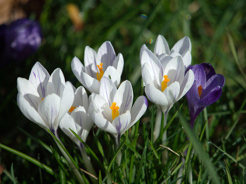 Crocus bouquet