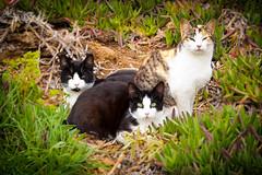 Bella, Guille y Panda (Juan Antonio Cap) Tags: pet animal cat kat feline chat fuji pussy kitty gato felino fujifilm katze mace  gatto  mascota kot gat koka kedi gatito kissa kttur maka kucing x10 pusa mo moix   kitti  minino    pisic        fujifilmx10 fujix10