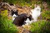 Bella, Guille y Panda (Juan Antonio Capó) Tags: pet animal cat kat feline chat fuji pussy kitty gato felino fujifilm katze mace 猫 gatto חתול mascota kot gat kočka kedi gatito kissa köttur mačka kucing x10 pusa mèo moix گربه кошка kitti 고양이 minino γάτα мачка котка pisică แมว قط кішка 잭 קאַץ վալետ िल्ली fujifilmx10 fujix10