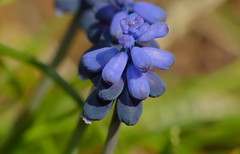 Starch Grape Hyacinth Muscari neglectum (berniedup) Tags: muscarineglectum taxonomy:binomial=muscarineglectum