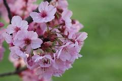 Sakura (but in Istanbul) (Atila Yumusakkaya) Tags: tree istanbul  sakura atila  kiraz  mygearandme yumusakkaya atilayumusakkaya creativephotocafe atilayumuakkaya yumuakkaya vigilantphotographersunite