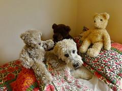 Theme (goldilocks) (Eric.Ray) Tags: world dog house lumix daily days lovers panasonic around challenge dmc wheaten terriers zs19