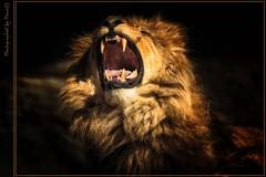 Löwe - Lion - King Leu (Pana53) Tags: hamburg lion löwe tierportrait nikond800 bestcapturesaoi magicunicornverybest magicunicornmasterpiece pana53 flickrsfinestimages1 flickrsfinestimages2 flickrsfinestimages3 photographedbypana53 vigilantphotographersunite vpu2 kingleu