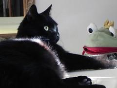 Il mio Principe (fiore56) Tags: cats gatto gattonero