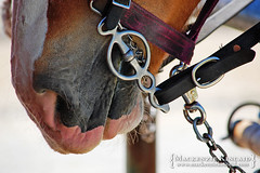 Harness horse bit (brightstrangethings) Tags: horse driving belgian harness bit equestrian equine tack workhorse drafthorse heavyhorse