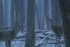 2 White-tailed deer after dusk in snowfall (Sean Kearnan) Tags: park trees snow ontario canada cold nature forest woods dusk wildlife guelph deer preserved deciduous snowfall preservation whitetailed woodlot