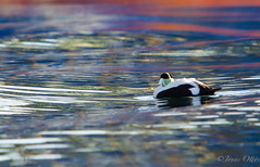 Colours and a passing Eider (Jonas Ottos) Tags: blue red sea male green birds swimming reflections spring colours harbour eider akranes canon7020028l canon7d