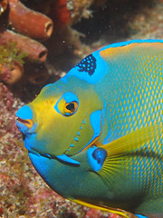 Queen Angelfish (NirupamNigam) Tags: fish keys florida scubadiving angelfish floridakeys keylargo thekeys queenangelfish floridadiving frenchreef warmwaterdiving