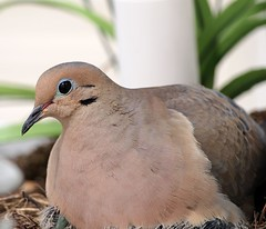 I Can See The Babies Sticking Out A Little Bit (btn1131 theromanroad.org) Tags: nature birds animals mourning olympus doves epl1 mygearandme