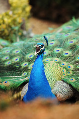 Peacock at Warwick Castle (ovofrito) Tags: