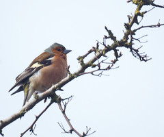 Chaffinch (Fringilla coelebs), m (bramblejungle) Tags: bird chaffinch fringilla coelebs