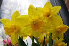Narcisjes (Olga and Peter) Tags: yellow spring geel daffodils narcis voorjaar gimg6135