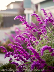 Lavender at Sunset (Images by April) Tags: pink flowers canon 50mm spring bokeh f14 sage 5d blooms markii pinkflowers
