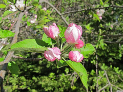 Sierra shrub/tree - likely Malus pumila (Paradise Apple) (K Schneider) Tags: california apple paradise sierra malus rosaceae pumila