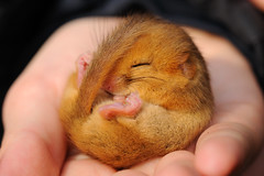 Dormouse [Explored] (amylewis.lincs) Tags: uk england macro nature animal mammal rodent nikon britain wildlife sigma lincolnshire british d3 180mm 2013 muscardinusavellanarius