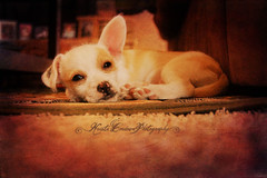 (Krista Cordova Photography) Tags: white chihuahua cute puppy mutt tan hector terrier smalldog paws chihuahuamix terriermix chihuahuapuppy tanandwhite