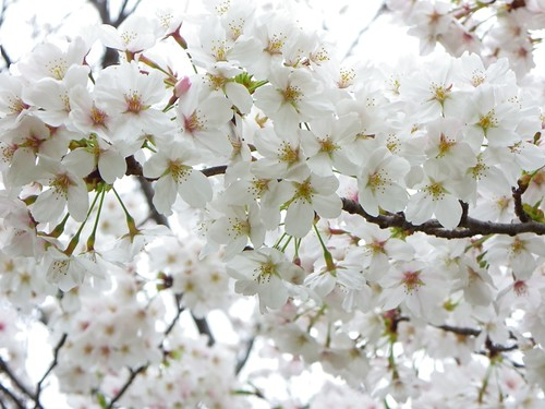 Cherry Blossoms_20130329151913