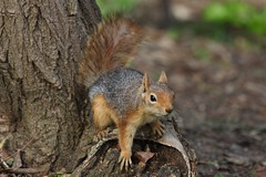 IMG_2946 (SKahraman) Tags: animal squirel