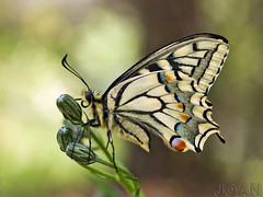 Papilio machaon_3239042-3 (joan.np) Tags: papiliomachaon olympuse500 joannp