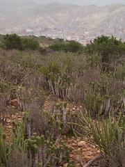 Euphorbia officinarum subsp. officinarum L. and Kleinia anteuphorbium (L.) Haw. (Peter M Greenwood) Tags: euphorbia subsp kleinia euphorbiaofficinarum officinarum anteuphorbium kleiniaanteuphorbium euphorbiaofficinarumsubspofficinarum