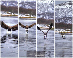 Eagle! Ringstad Sjhus, Ringstad, B, Vesterlen, Nordland, Norge (Norway) (Stewart Leiwakabessy) Tags: bird water birds norway island islands norge flying eagle arctic stewart ripples eagles bait lure archipelago arcticcircle dipping vesterlen b nordland leiwakabessy stewartleiwakabessy catchingfish ringstad stewartleiwakabessy
