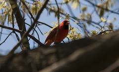 Cardinal (CJ_Inguagiato) Tags: life blue trees red wild sky orange tree bird leaves living leaf nikon branch cardinal live wildlife branches sigma crop cropped 500 500mm d300 nikond300 150500 sigma150500