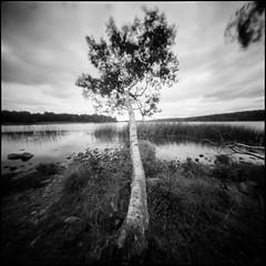 (Hasse Linden) Tags: pinhole pinholecamera realitysosubtle6x6 rss6x6 6x6 mediumformat analogue film ilford hp5 standdevelopment adonal rodinal tree landscape lake