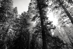 as the canopy reverts to branch and bone (Super G) Tags: california morning trees blackandwhite bw dawn smoke backlit eldoradonationalforest pollockpines nikon284